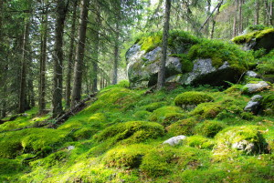600 Fichtenurwald