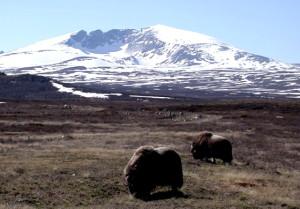 Moschusochsen im Dovrefjell © Norske Bygdeopplevelser AS, 2014