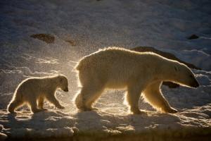 Polar Bear Dominic Barrington