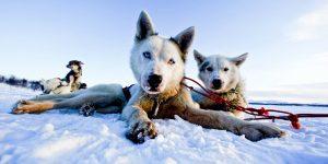 Die Huskys warten ungeduldig auf Sie Foto: © Stein J. Bjørge